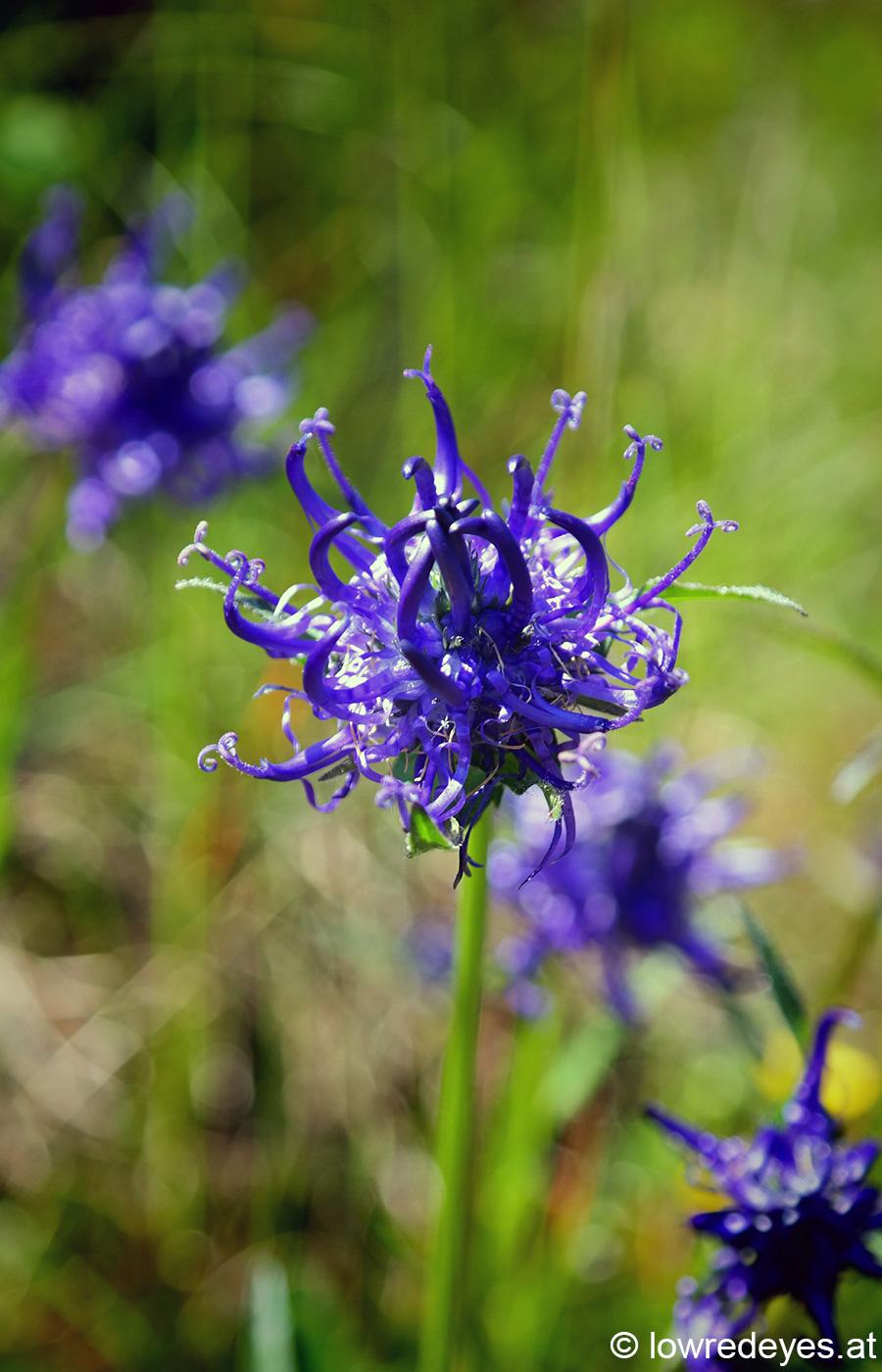 Naturspaziergang: Stubaier Botanik - Pflanzen unter Naturschutz: Teufelskralle, Schusternagele, Knabenkraut