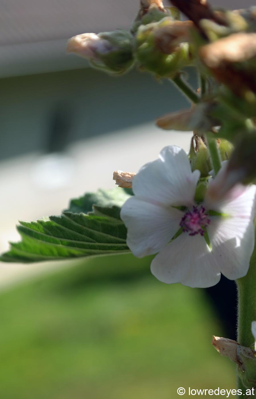Kräuterbuschn Booklove Räuchern zu heiligen Zeiten - Eibisch