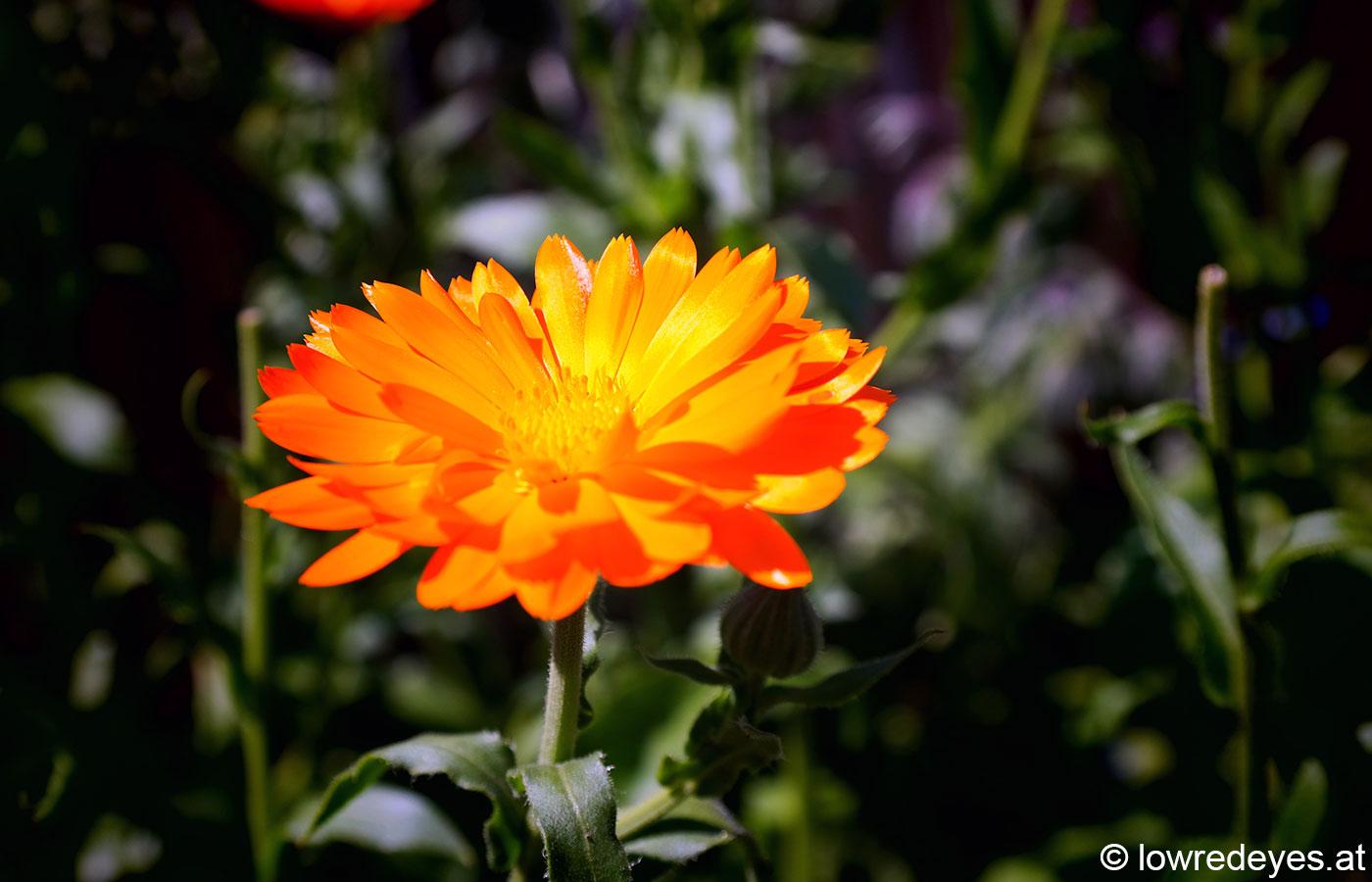 Kräuterbuschn Booklove Räuchern zu heiligen Zeiten - Ringelblume
