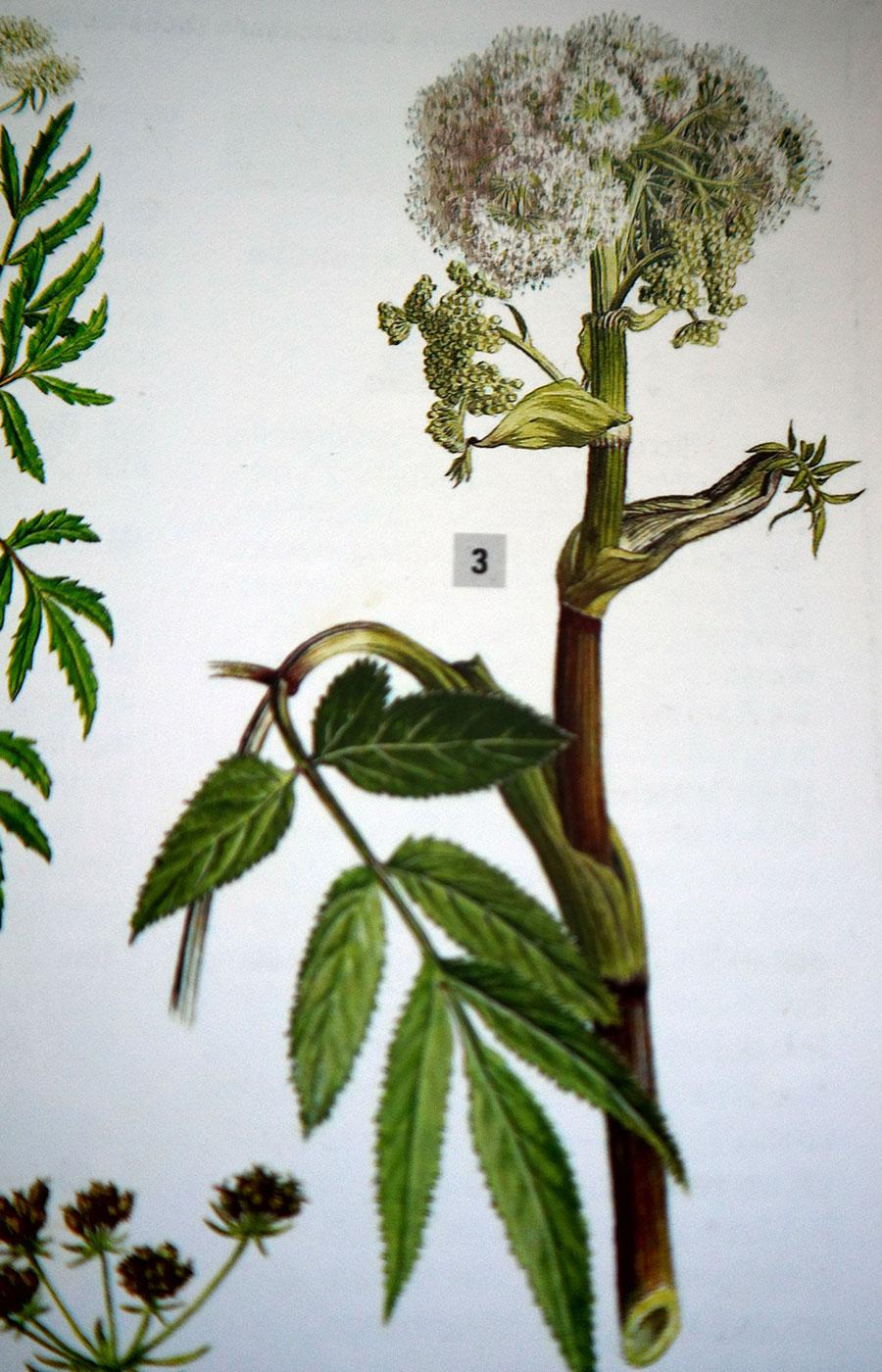 Wadengelwurz-Balsam